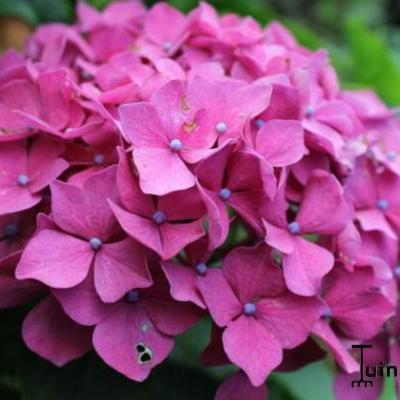 Hydrangea macrophylla 'Leuchtfeuer' -