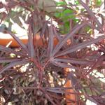 Acer palmatum 'Enkan' - Japanse esdoorn