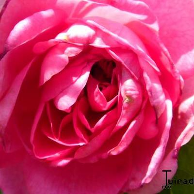 Rosa 'Gertrude Jekyll' -