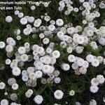 Chamaemelum nobile 'flore pleno' - Chamaemelum nobile 'flore pleno' - Roomse kamille