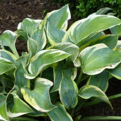 Hosta 'Valley's Glacier' -