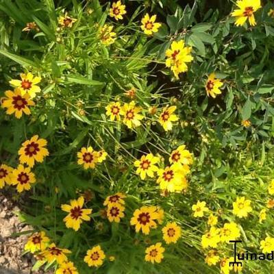 Coreopsis lanceolata 'Baby Gold' -