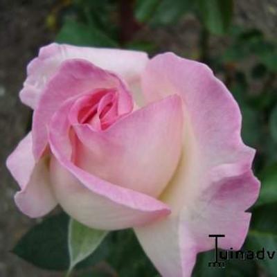 Rosa 'Princesse de Monaco' -
