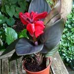 Canna x generalis 'CANNOVA Red Shades' - Bloemriet