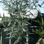 Eucalyptus globulus  - Eucalyptus globulus  - Koortsboom, Tasmanische Blauwe Gom