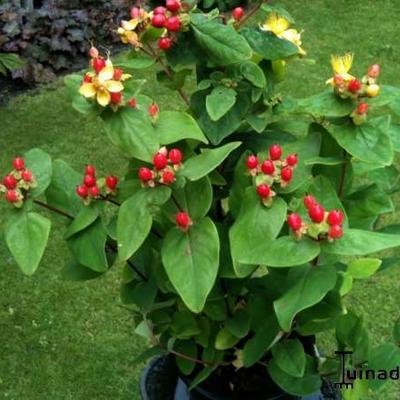 Hypericum Inodorum 'Rheingold' -