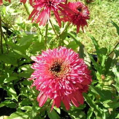 Echinacea purpurea 'Cranberry Cupcake' -