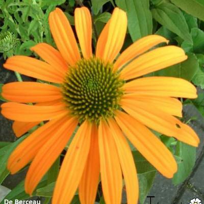 Echinacea purpurea  'Now Cheesier' -
