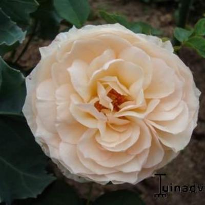 Rosa 'Buff Beauty' -
