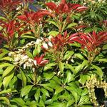 Pieris japonica 'Mountain Fire' - Rotsheide
