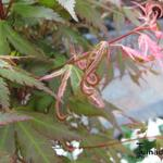 Acer palmatum 'Kasen-nishiki' - Acer palmatum 'Kasen-nishiki' - Japanse esdoorn