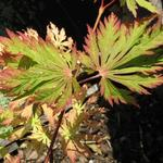 Acer japonicum 'Aconitifolium' - Acer japonicum 'Aconitifolium' - Japanse esdoorn