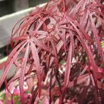 Acer palmatum 'Atrolineare' - Japanse esdoorn