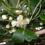 Kiwi - Actinidia deliciosa 'Atlas'
