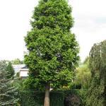 Metasequoia  - Metasequoia  - Watercypres