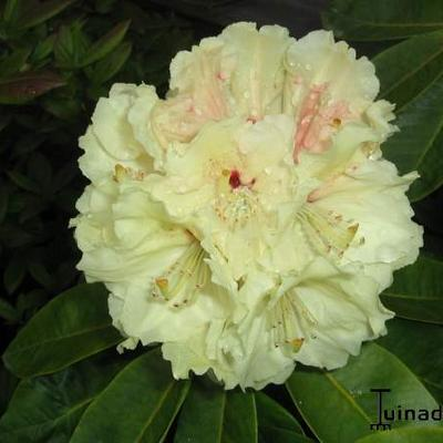 Rhododendron 'Goldfort' - Rododendron