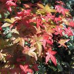 Acer palmatum 'Corallinum' - Acer palmatum 'Corallinum' - Japanse esdoorn