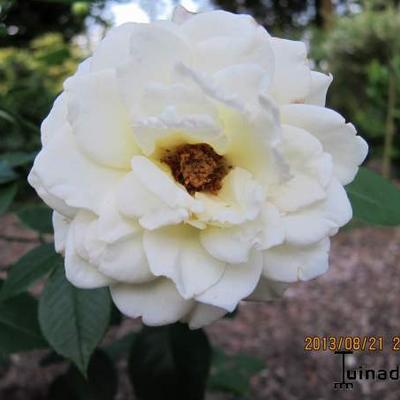 Rosa 'Mount Shasta' -