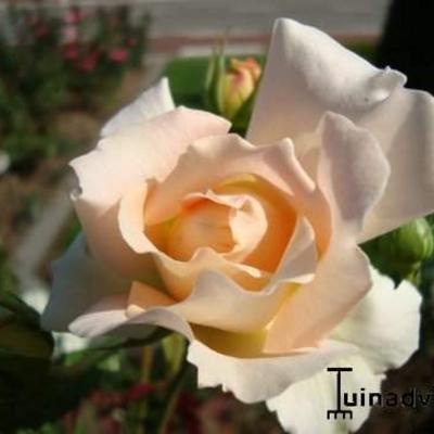 Rosa 'Rokoko' -