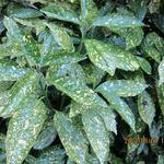 Aucuba japonica 'Crotonifolia' - Broodboom - Aucuba japonica 'Crotonifolia'
