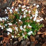 Abelia x grandiflora 'Prostrata' - Abelia - Abelia x grandiflora 'Prostrata'