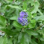 Caryopteris x clandonensis 'Grand Bleu' - Baardbloem, Blauwe spirea - Caryopteris x clandonensis 'Grand Bleu'