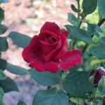 Rosa 'Mister Lincoln' - Roos - Rosa 'Mister Lincoln'