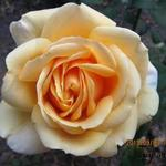 Rosa 'Gina Lollobrigida' - Roos