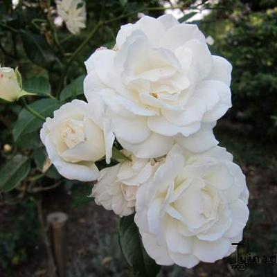 Rosa 'Irene of Denmark'  -