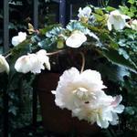 Begonia odorata 'Apple Blush' - Begonia odorata 'Apple Blush' - Hangbegonia