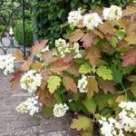 Hydrangea quercifolia 'Snowflake' - Eikenbladhortensia - Hydrangea quercifolia 'Snowflake'