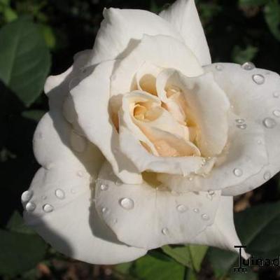 Rosa 'Pascali' -