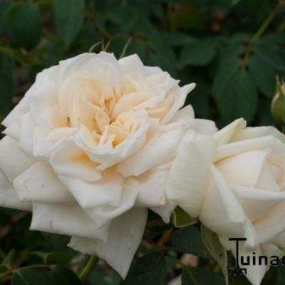 Rosa 'Ilse Krohn Superior  ' -