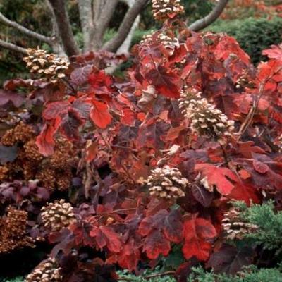Hydrangea quercifolia 'Snowqueen' -