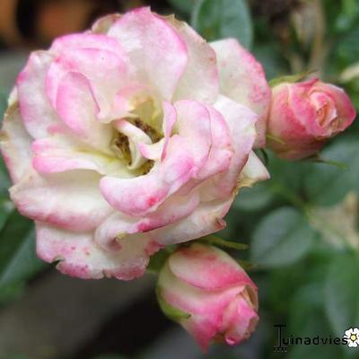 Rosa 'Matilda' 1988 -