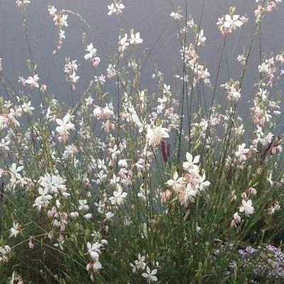 Gaura lindheimeri 'Vanilla' -