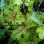 Heucherella 'Stoplight - Purperklokje