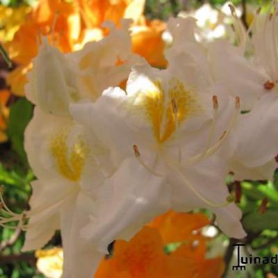 Rhododendron 'Ballerina' -