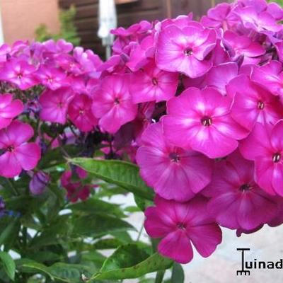 Phlox paniculata 'Velvet FLAME -