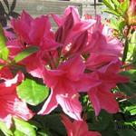 Rhododendron viscosum 'Jolie Madame' -