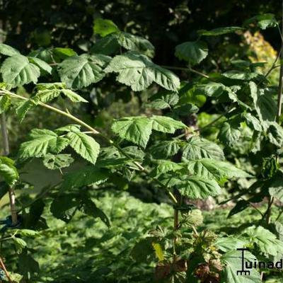 Rubus x loganobaccus -