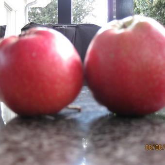 Malus domestica 'Summerred