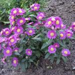 Aster Crown - Aster Crown - Herfstaster