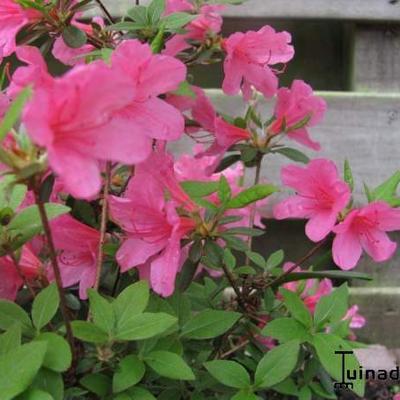 Rhododendron 'Momoko' -