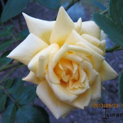 Rosa 'Garden Princess' -