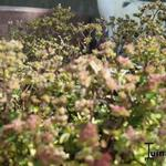Origanum 'Marchants Seedling' - Origanum 'Marchants Seedling' - Marjolein