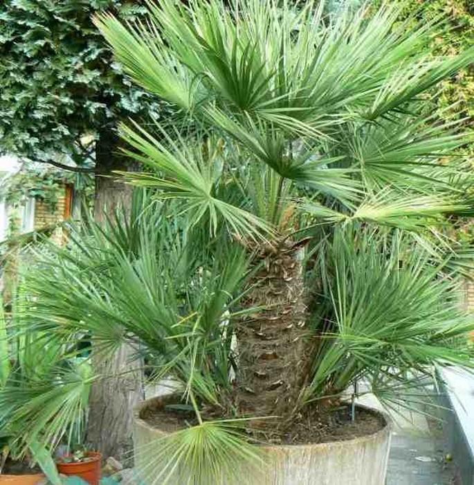 Europese dwergpalm chamaerops humilis - Sortes de palmiers ...