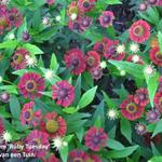 Helenium 'Ruby Tuesday' - Zonnekruid