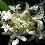 Hydrangea paniculata 'Great Star'  - Hydrangea paniculata 'Great Star'  - Hortensia
