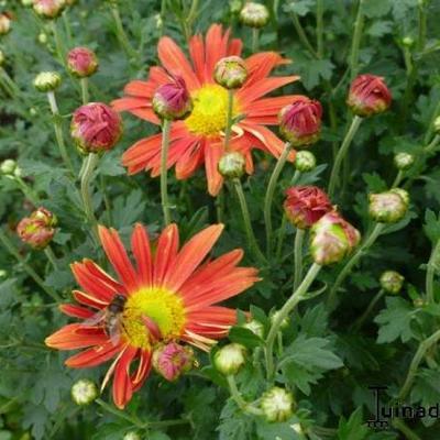 Chrysanthemum 'Cottage Apricot ' -